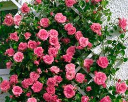 Роза Лавиния