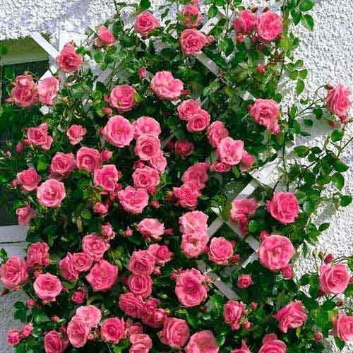 Роза Лавиния изображение 1