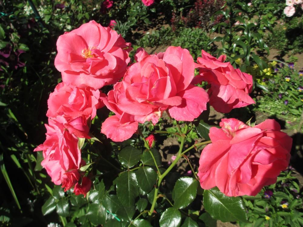 Роза Лавиния изображение 3