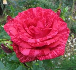 Роза Ред Интуишн изображение 2