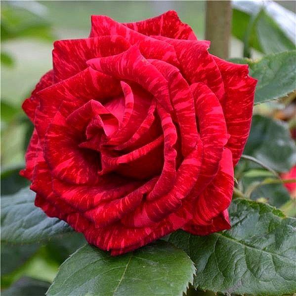 Роза Ред Интуишн изображение 3