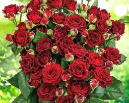 Роза Ред Сенсейшн