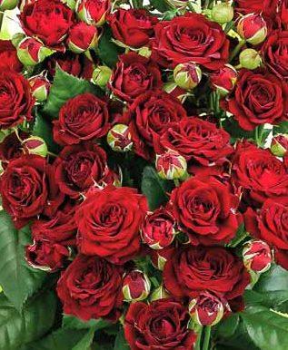 Роза Ред Сенсейшн 1