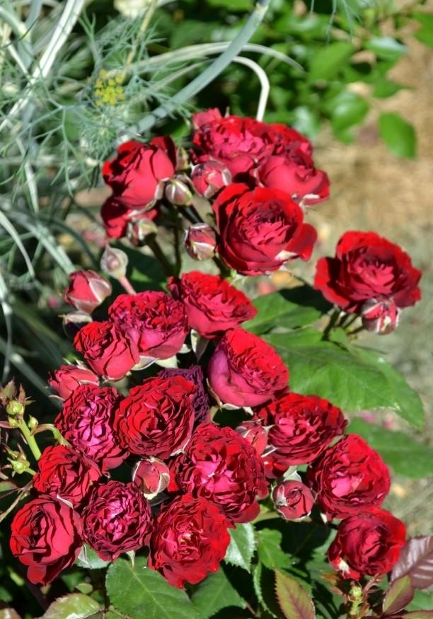Роза Ред Сенсейшн 3