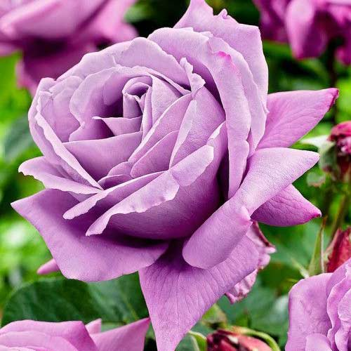 Роза Чарли 1