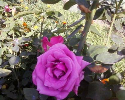 Роза Чарли 4