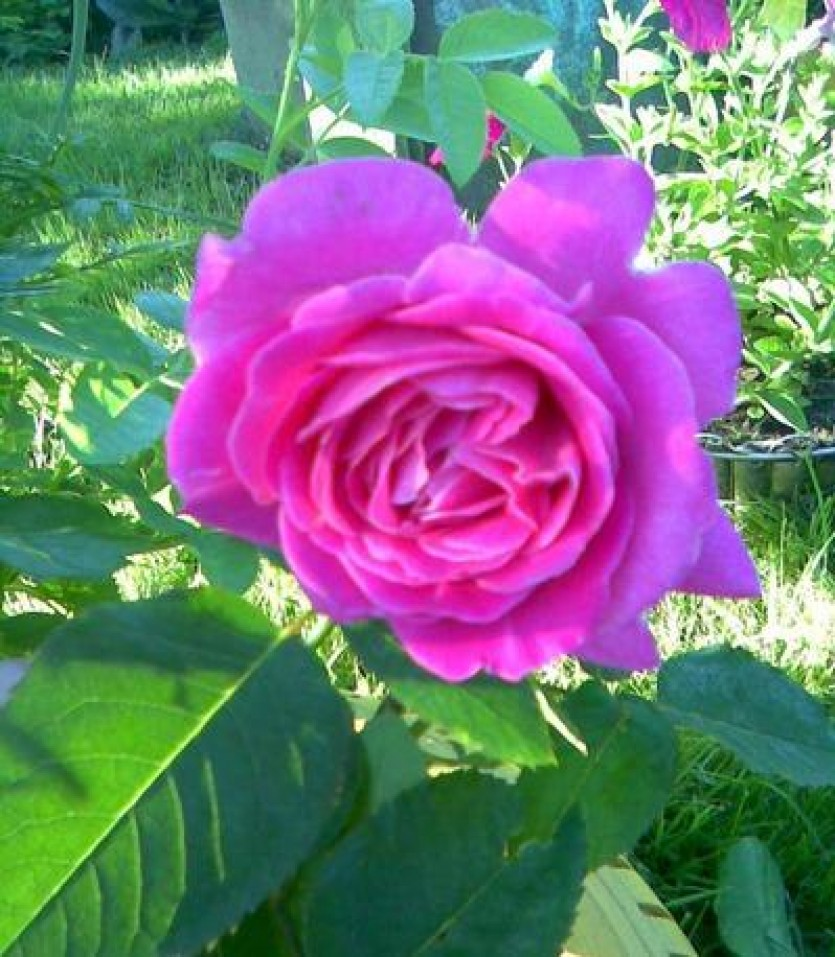 Роза Чарли 2
