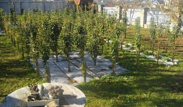 Посадка колоновидной яблони весной: рекомендации по выращиванию