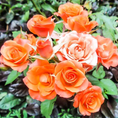 Роза Алегрия 1
