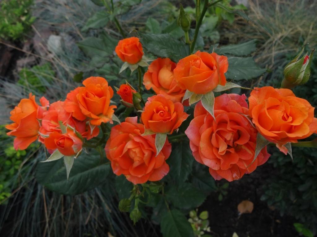 Роза Алегрия 2