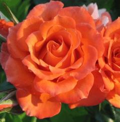Роза Алегрия 4