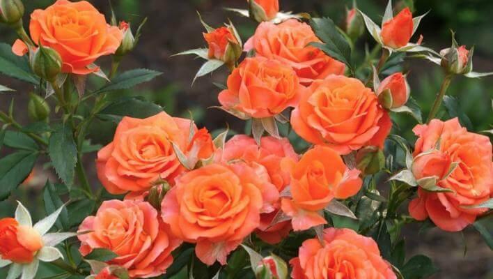 Роза Алегрия 3