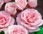 Роза Глазурная помадка