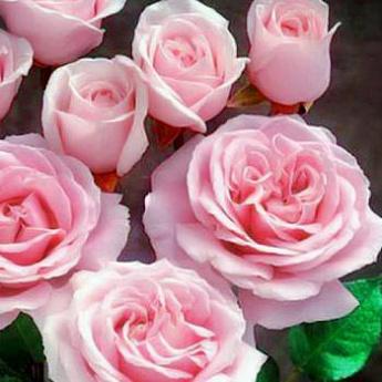 Роза Глазурная помадка изображение 1