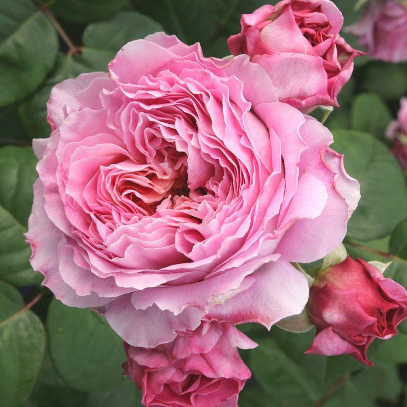Роза Глазурная помадка изображение 3