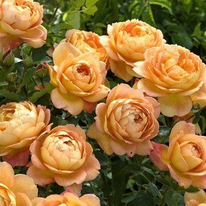 Роза Леди оф Шалот изображение 3