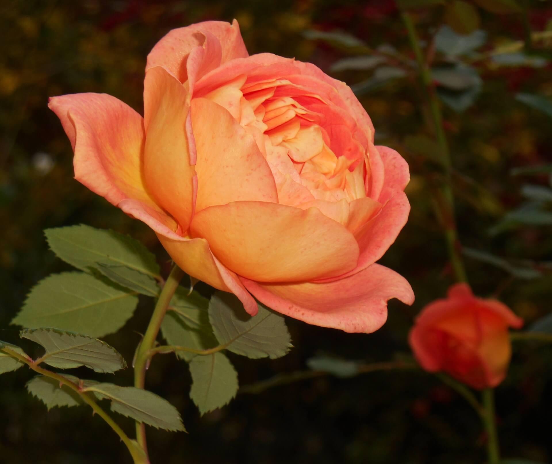 Роза Леди оф Шалот изображение 4