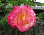 Роза Маскарад