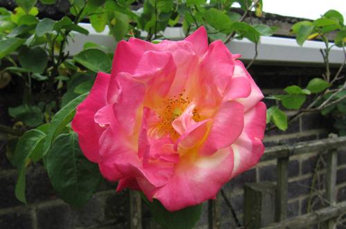 Роза Маскарад изображение 1