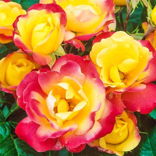 Роза Маскарад изображение 2