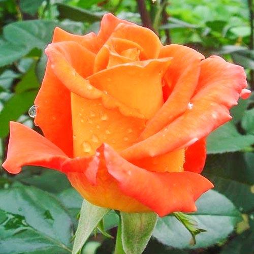 Роза Моника изображение 1