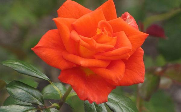 Роза Моника изображение 3