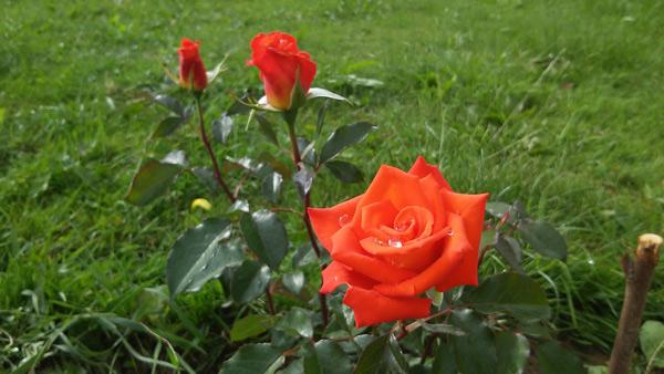 Роза Моника изображение 2