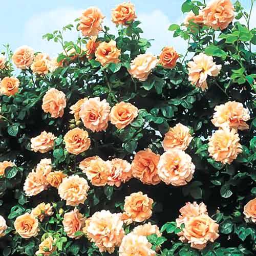 Роза Полька 4