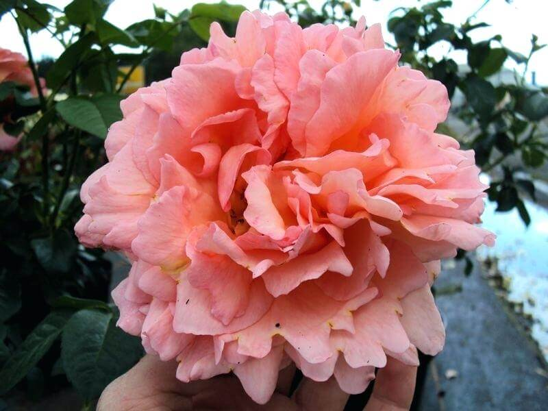 Роза Полька 3