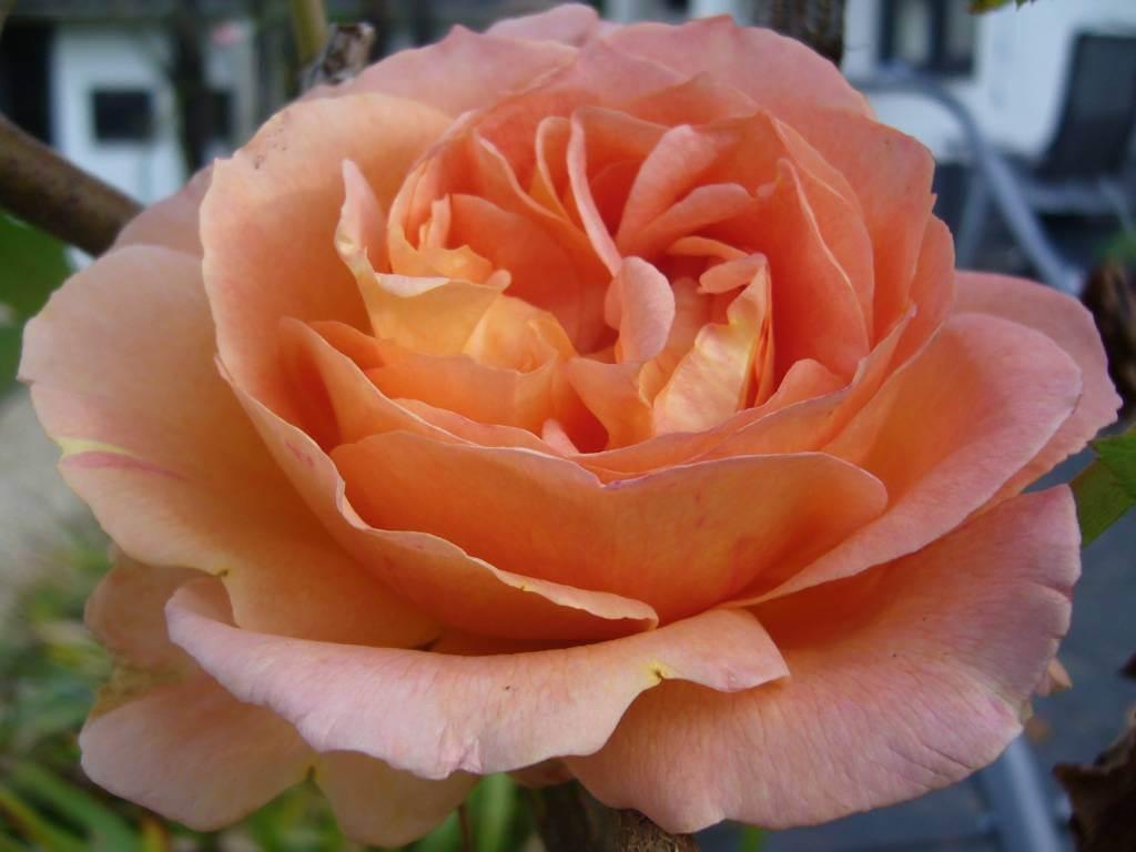 Роза Полька изображение 2