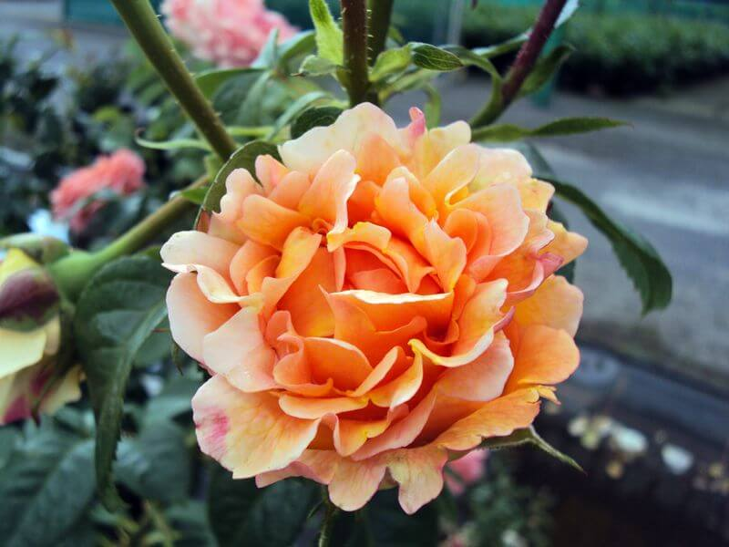 Роза Полька 1
