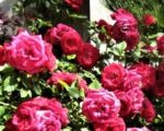 Роза Декор Роуз