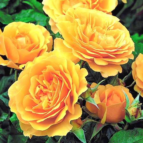 Роза Джулия Чайлд 1