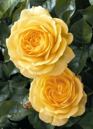 Роза Джулия Чайлд изображение 3
