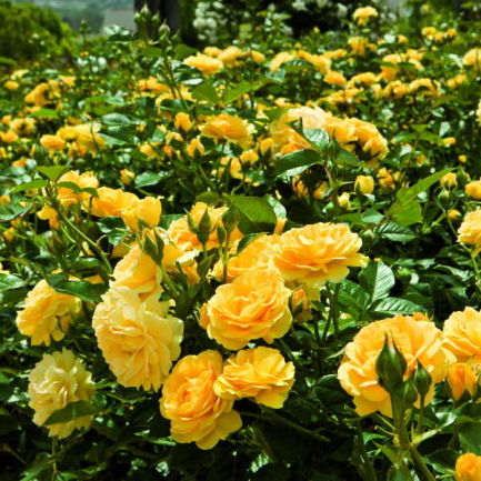 Роза Джулия Чайлд 2