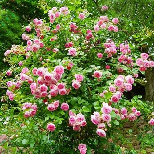 Роза Жасмина 2