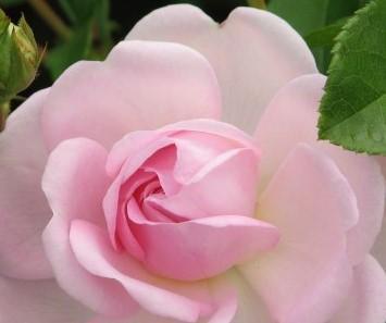 Роза Жасмина 3