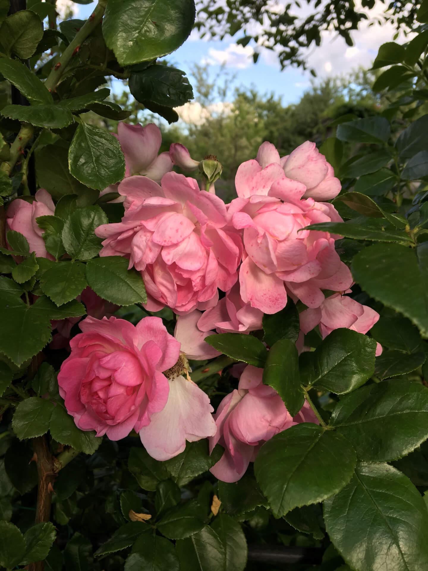 Роза Жасмина 4