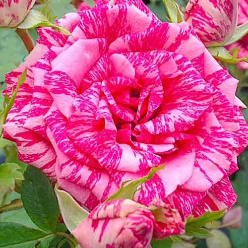Роза Пинк Интуишн изображение 1