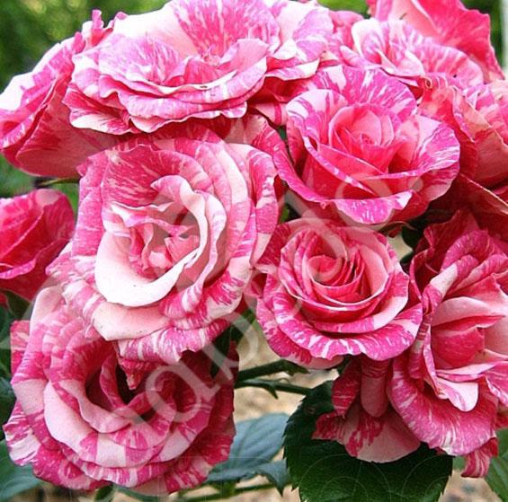 Роза Пинк Флеш изображение 2