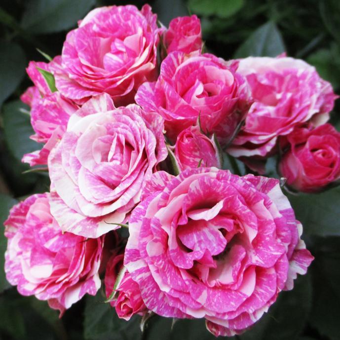 Роза Пинк Флеш изображение 4