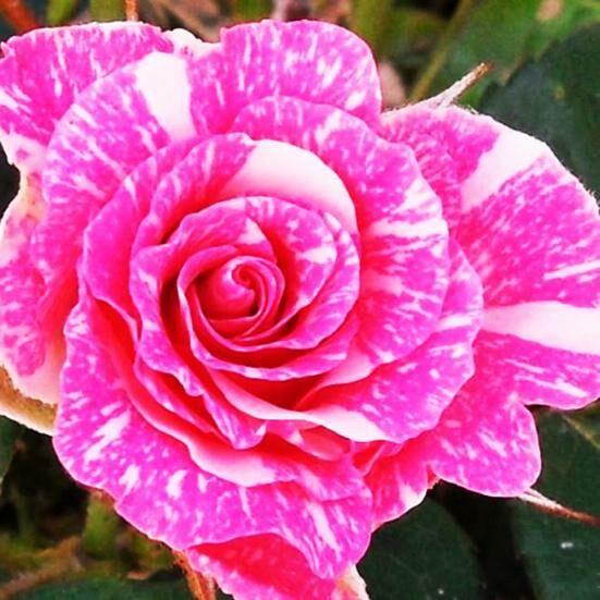Роза Пинк Флеш изображение 3