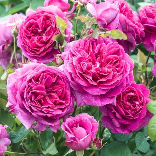 Роза Пинк Леди 1