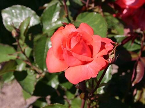 Роза Пинк Леди 2