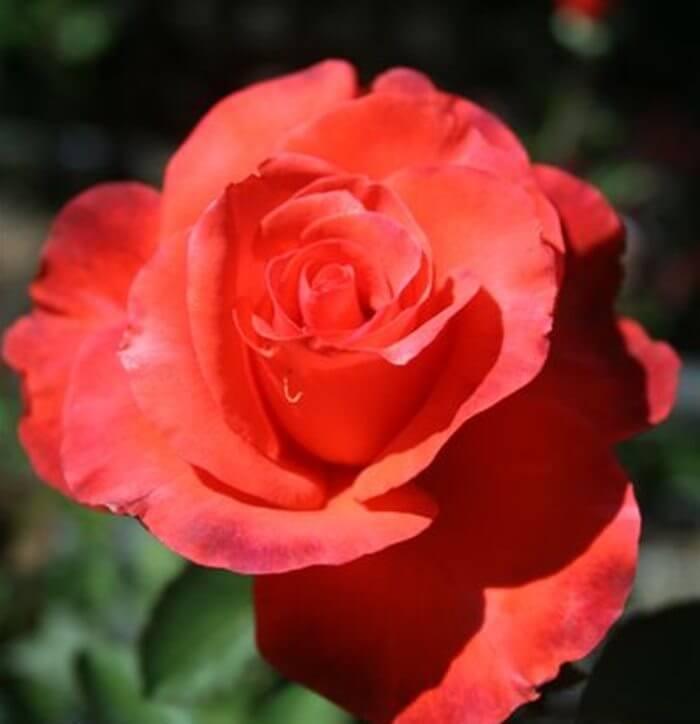 Роза Пинк Леди 3