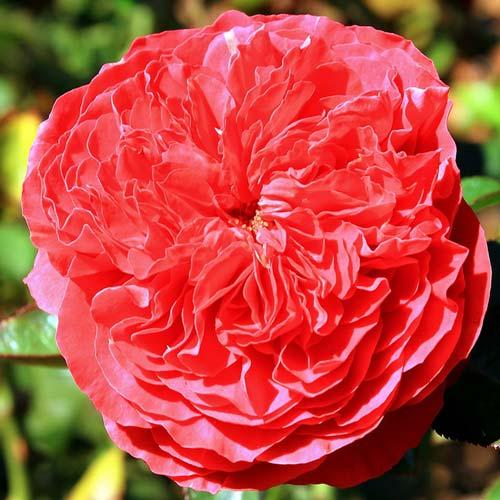 Роза Бенджамин Бриттен изображение 1