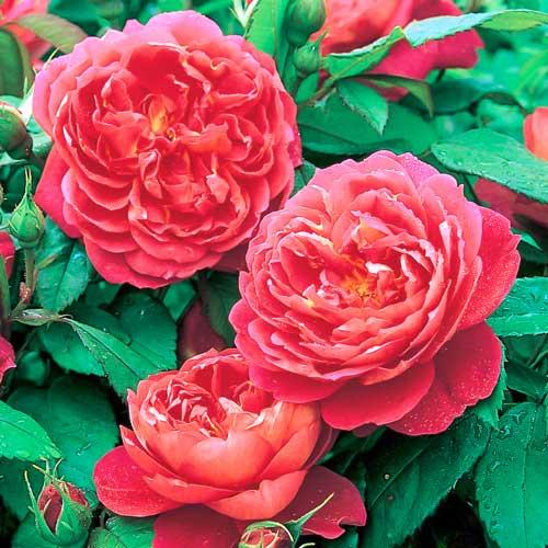 Роза Бенджамин Бриттен изображение 2