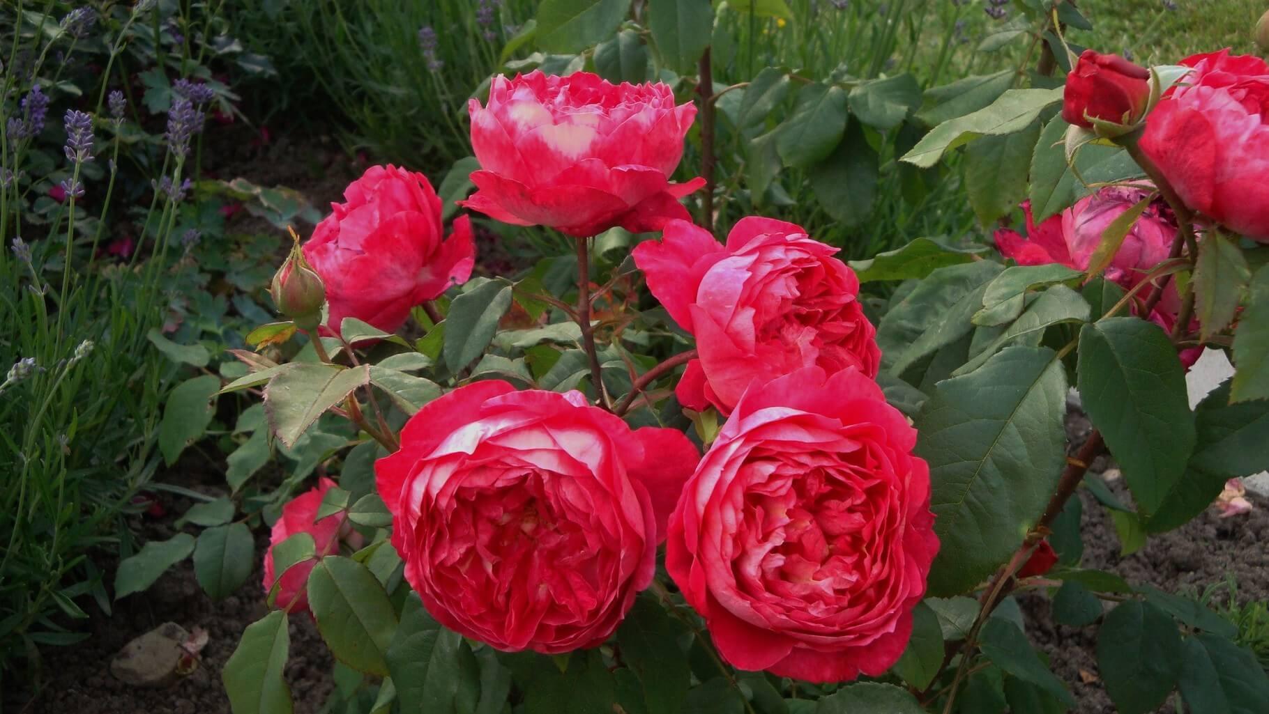 Роза Бенджамин Бриттен изображение 4