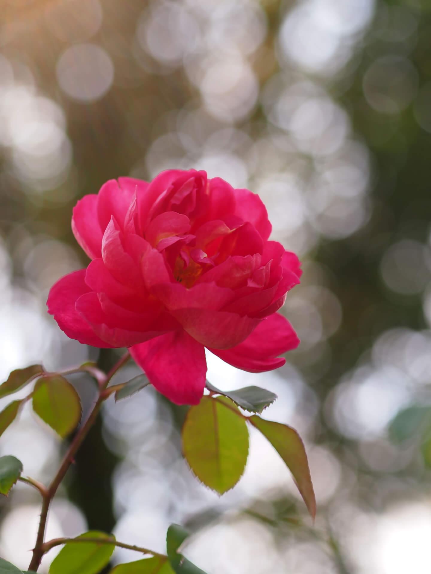 Роза Бенджамин Бриттен изображение 3