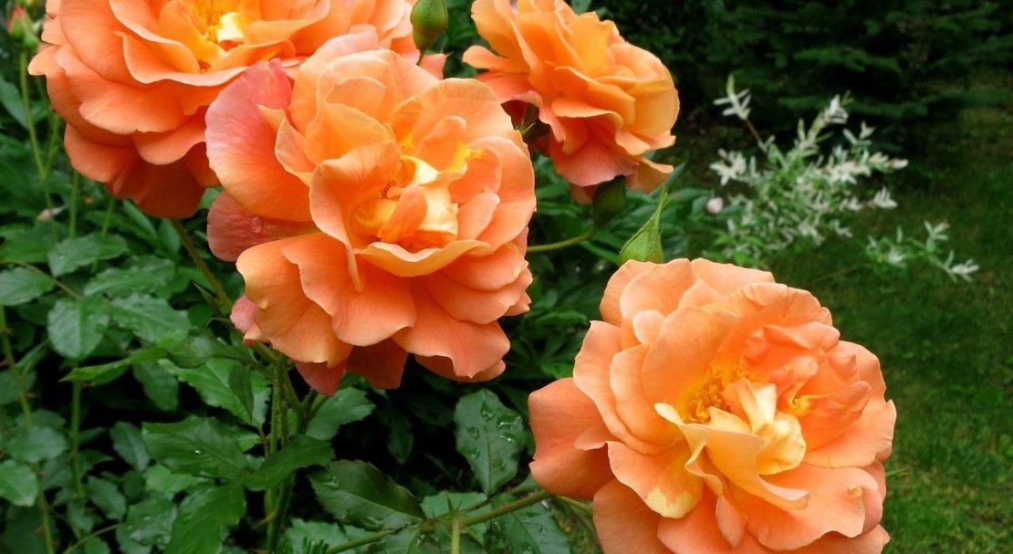 Роза Вестерленд 1